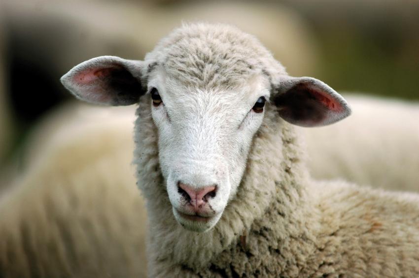 Schafswolle ist ein vielseitiger und hochwertiger Werkstoff