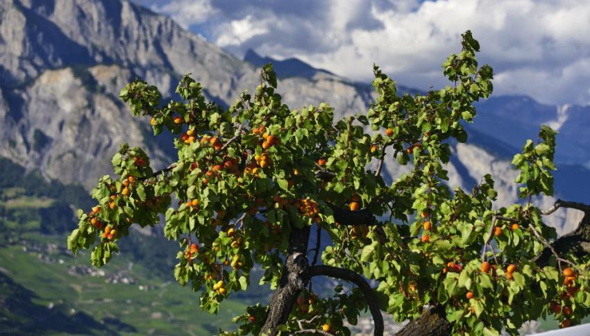 Marillenbaum im Alpenpanorama