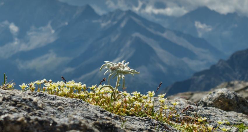 Ein blühendes Edelweiß in einem malerischen Alpenpanorama